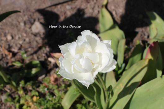 Double late Mount Tacoma tulip