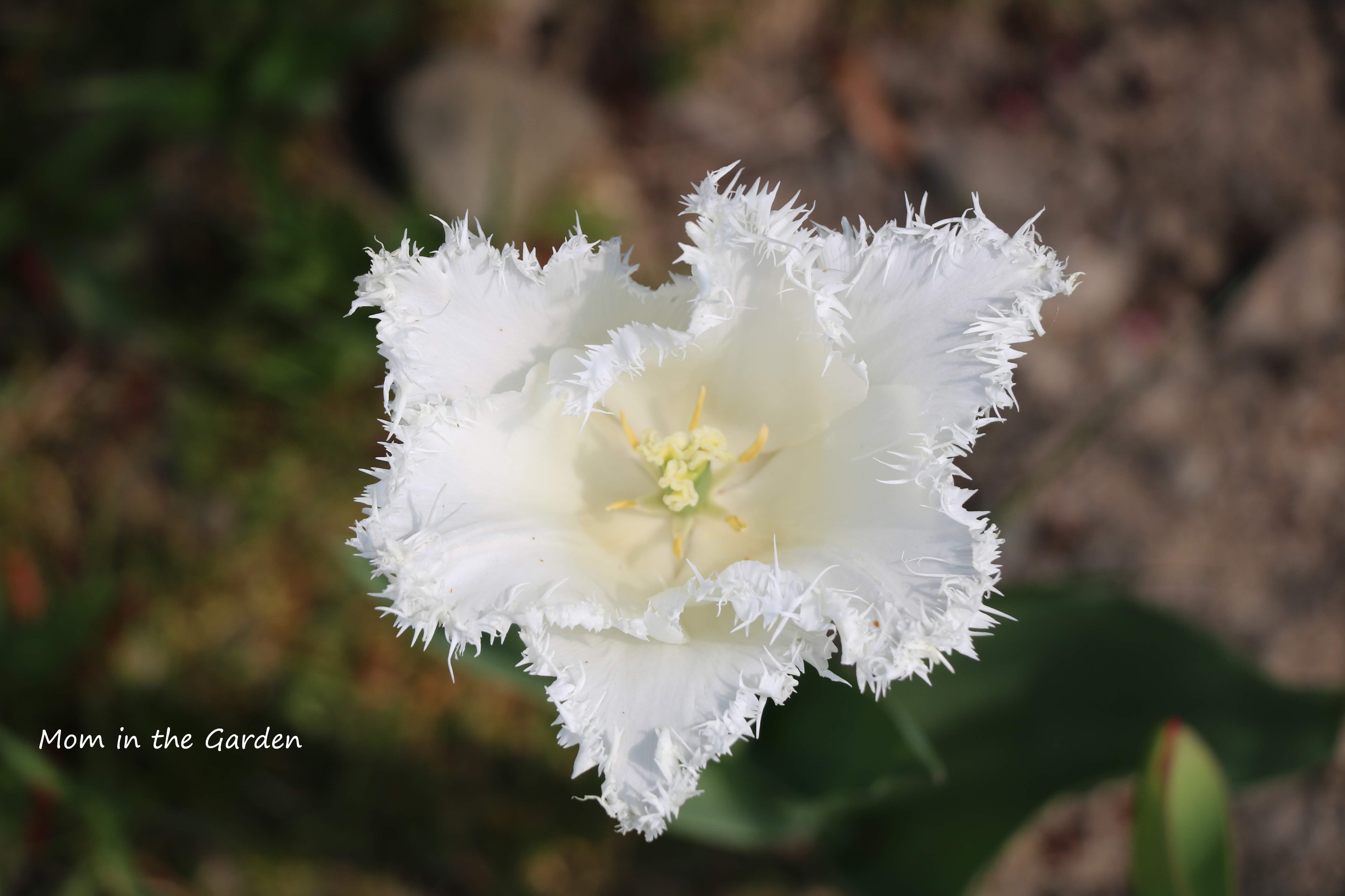 Fringed tulip swan wings