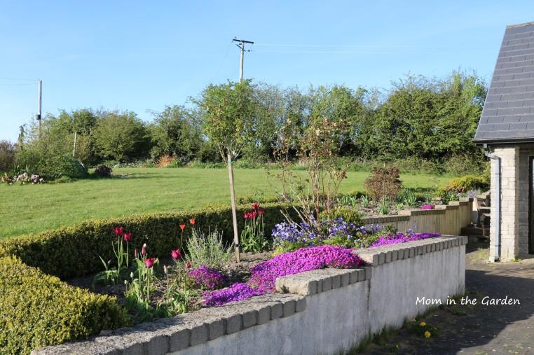 Full view of aubrieta and garden