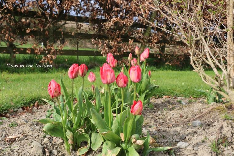 Mystic van Eijk tulips