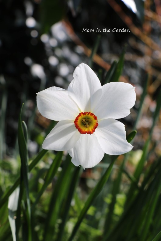 narcissus actea pheasants eye