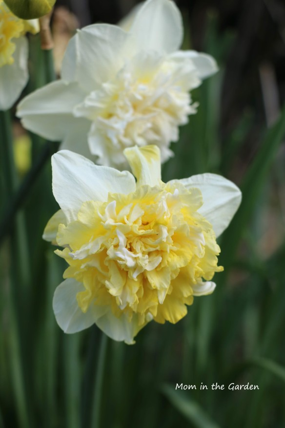Narcissus Ice King Double Daffodil