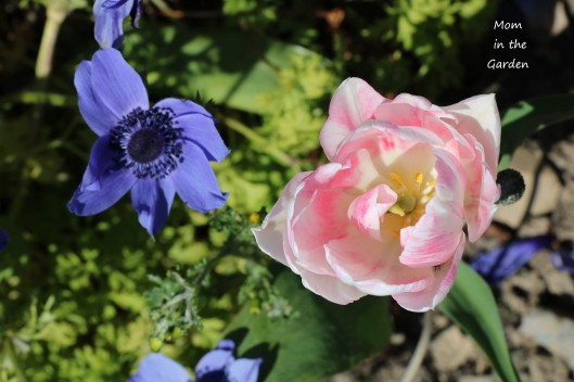 pink and white tulip and anemone