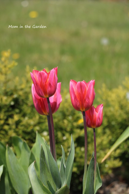 Pretty Princess group of tulips