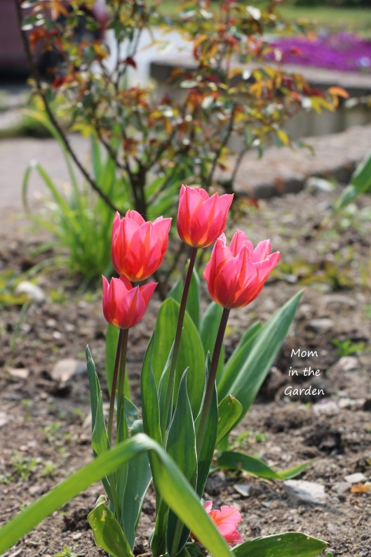 Pretty Princess tulips facing sun