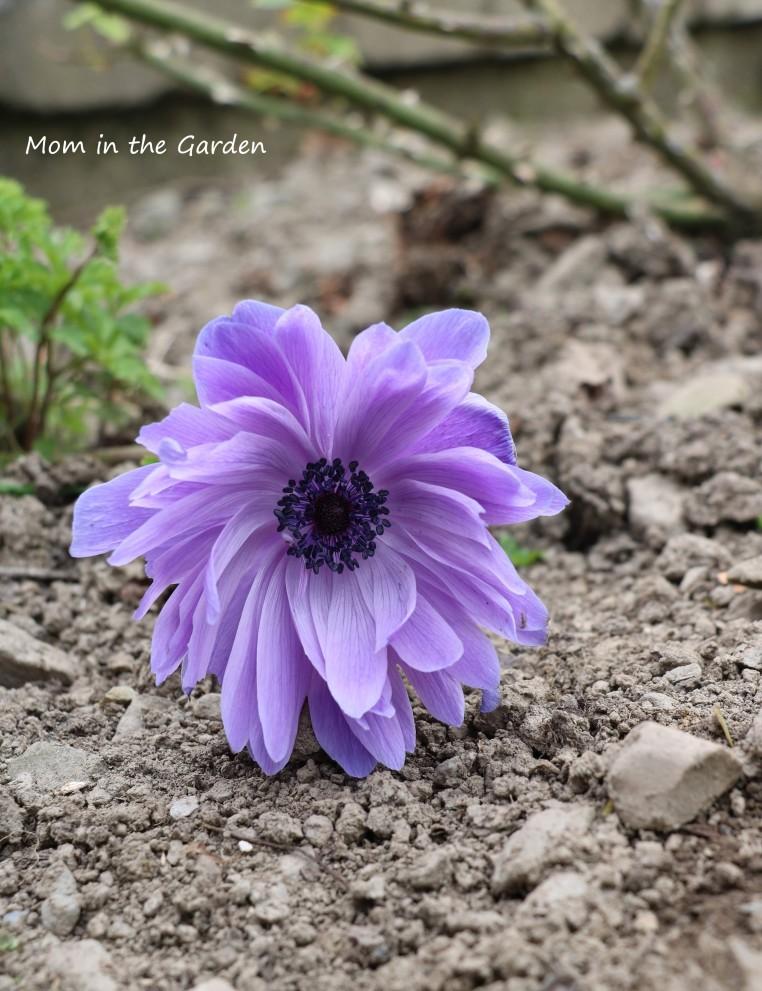 single anemone on ground