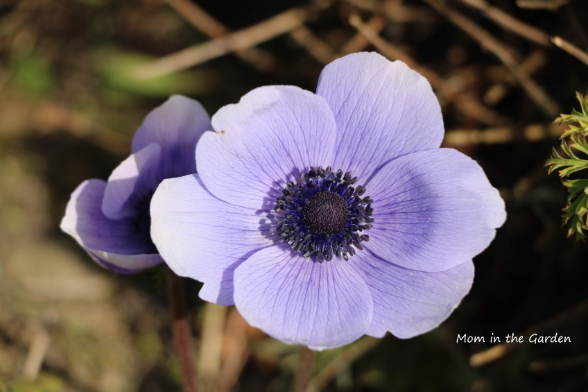 single mr fokker anemone