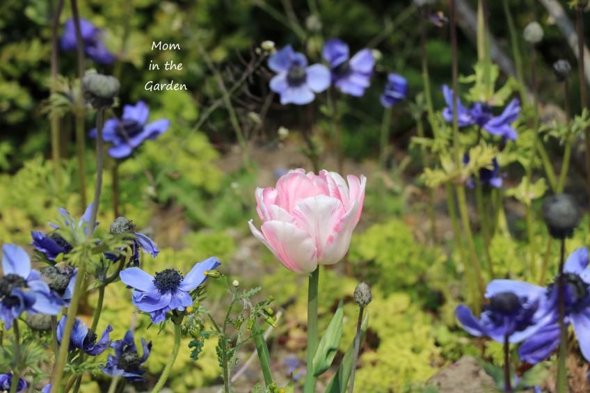 tulip and anemone