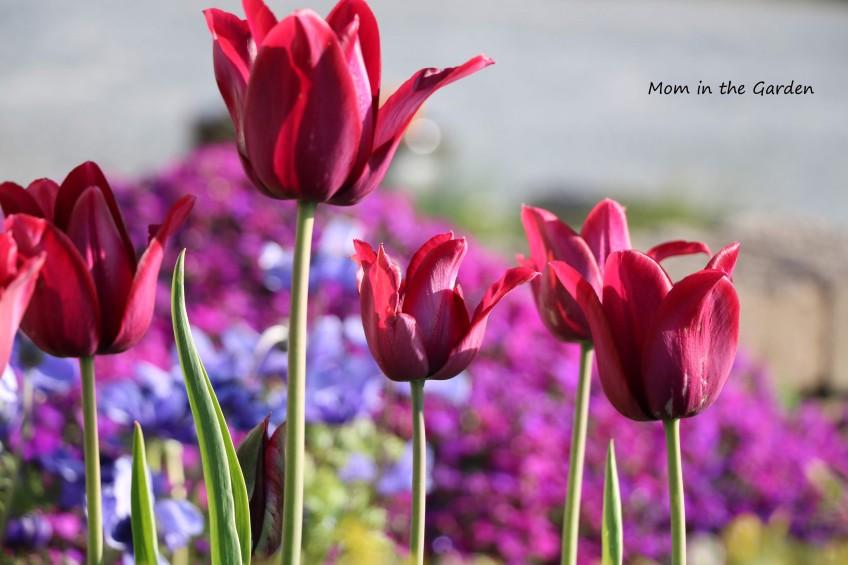 Tulip Merlot + aubrieta