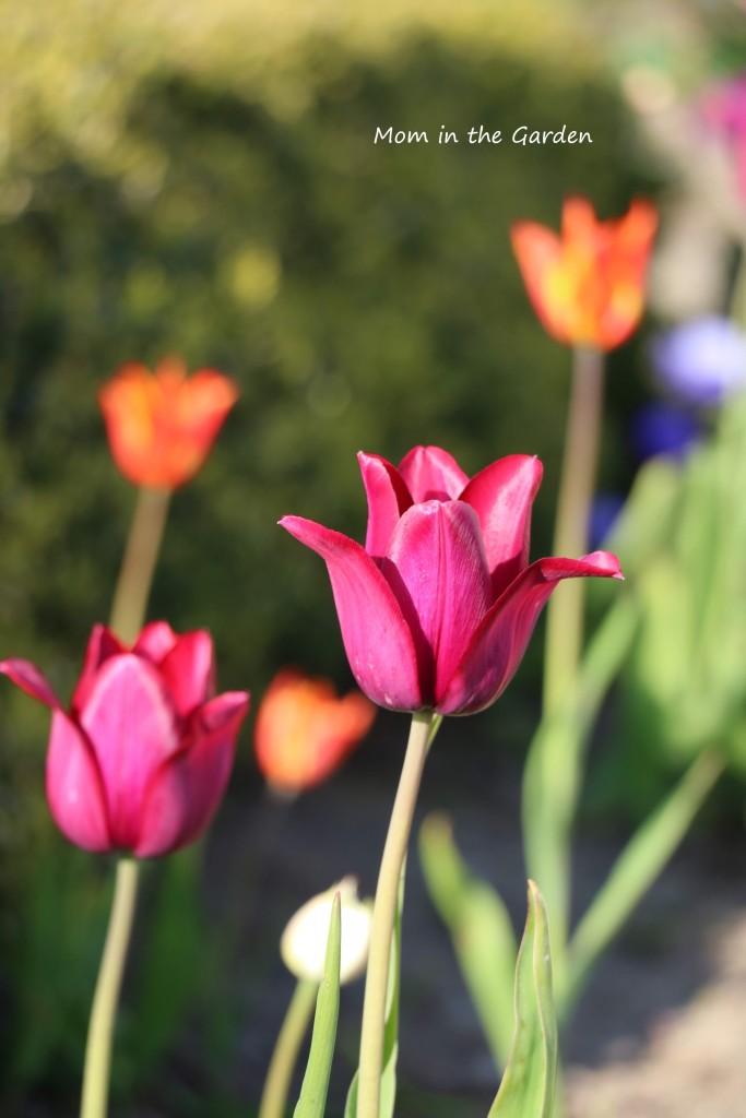 Tulip Merlot + Tulip Ballerina