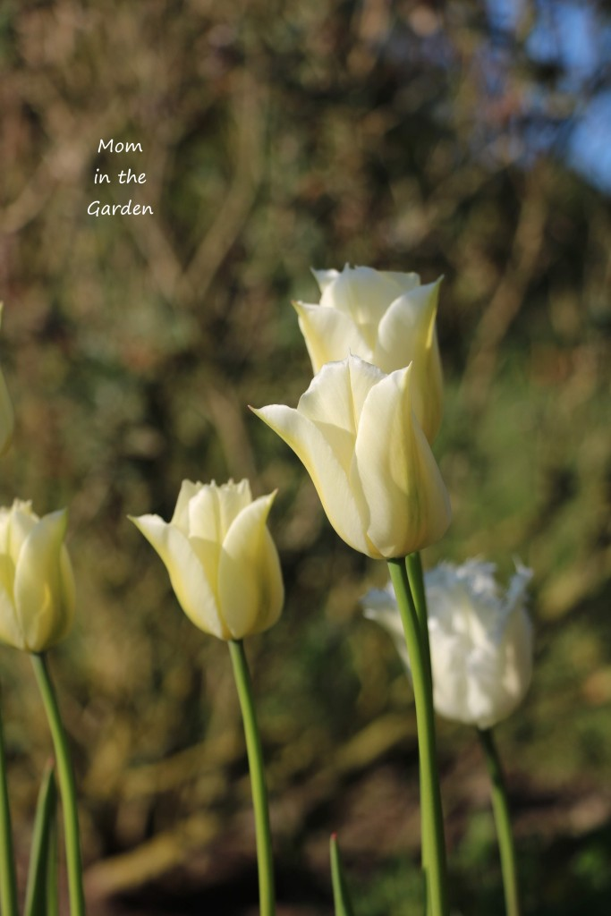 Tulip Spring Green closed