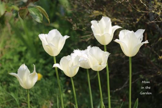 Tulip Spring Green