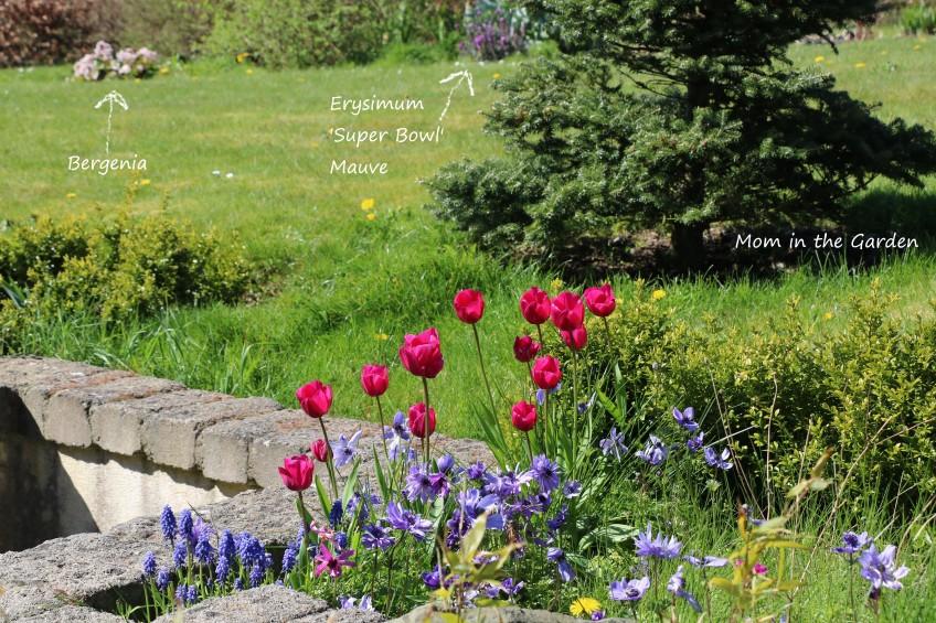 Tulips with bergenia and erysimum