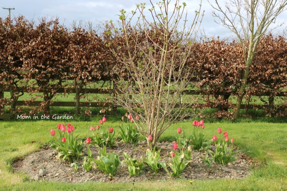 Viburnum and tulips