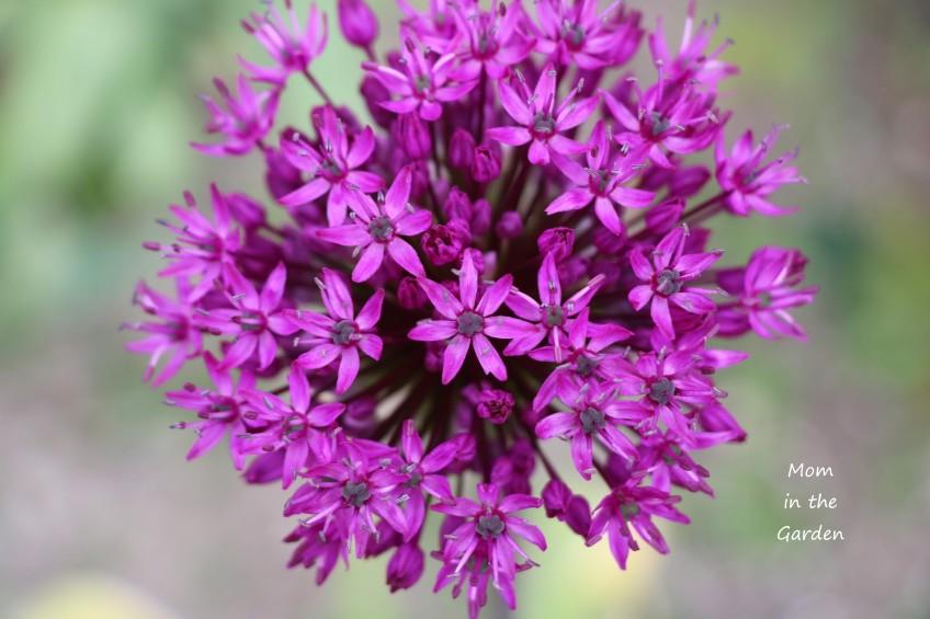 Allium from above