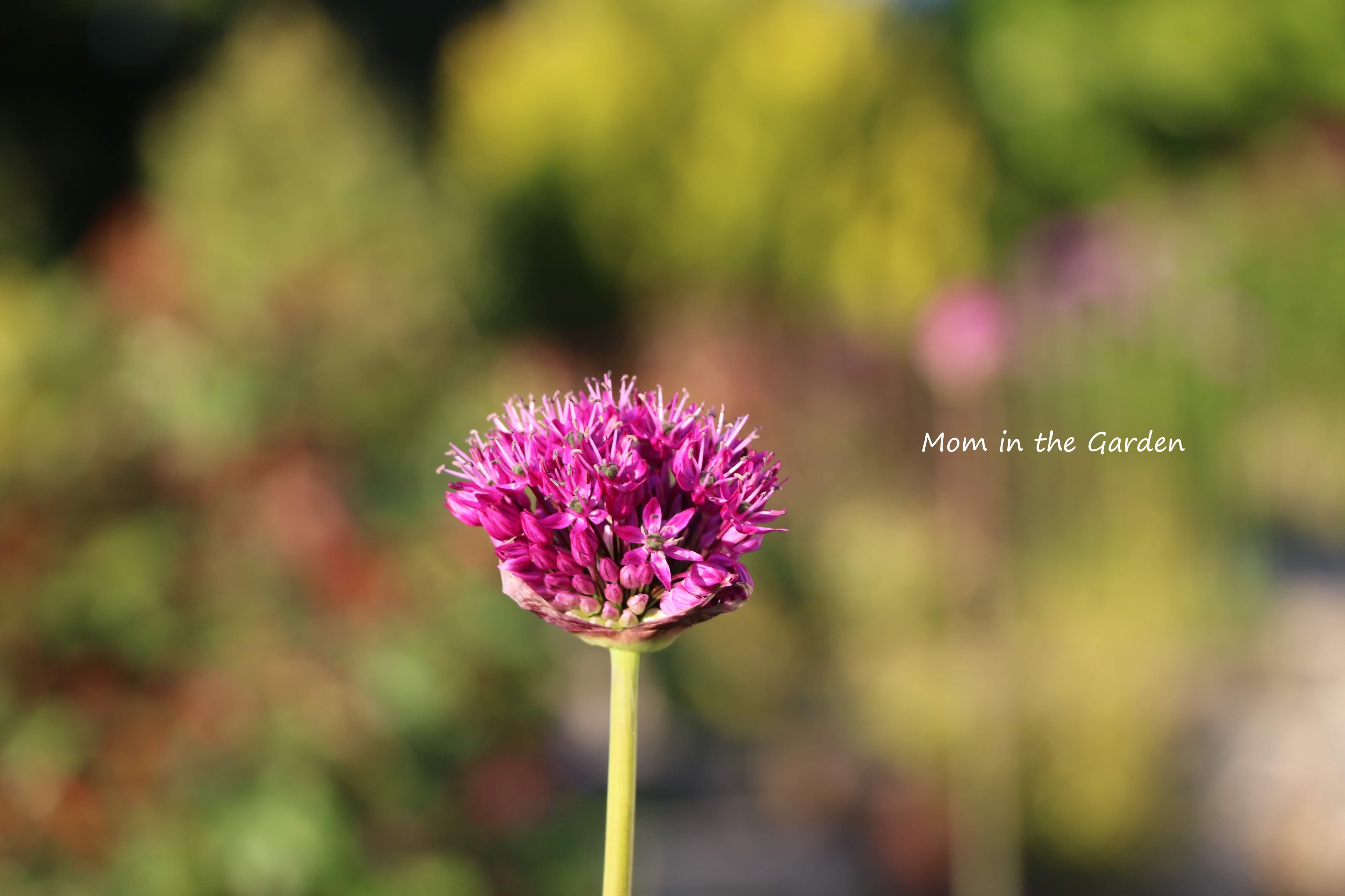 Allium closeup