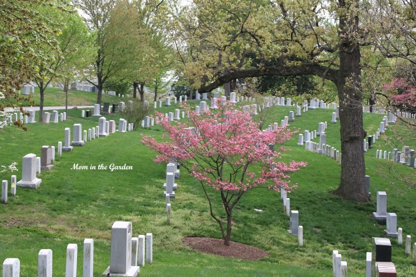 Arlington National Cemetery pink dogwood