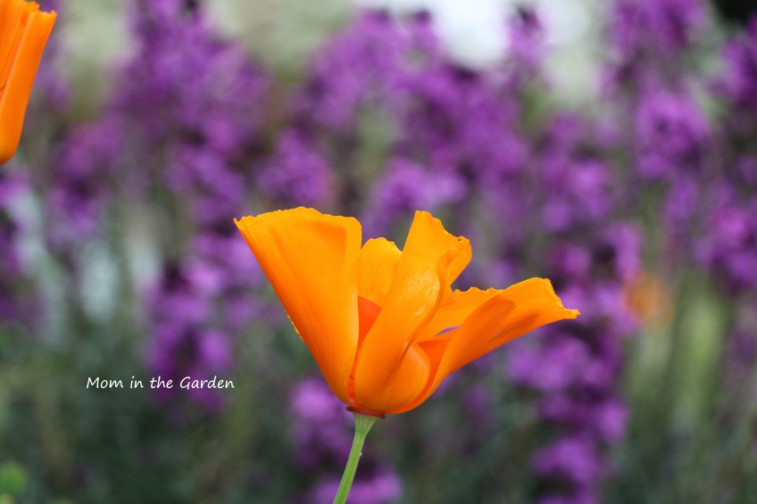 California Poppy with purple background
