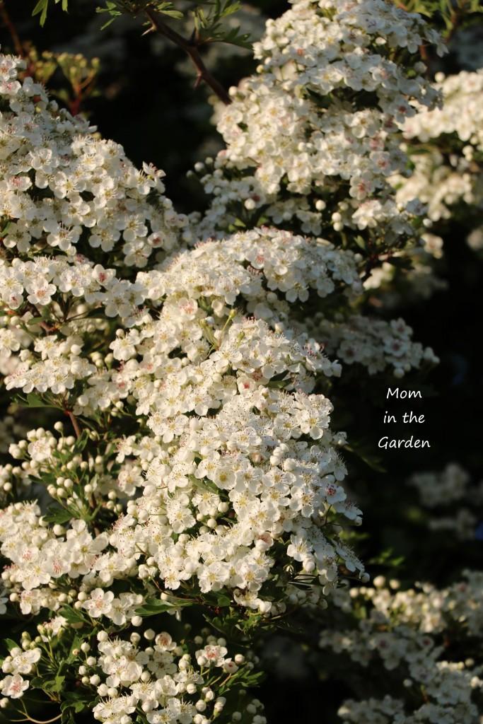 Hawthorn flowers