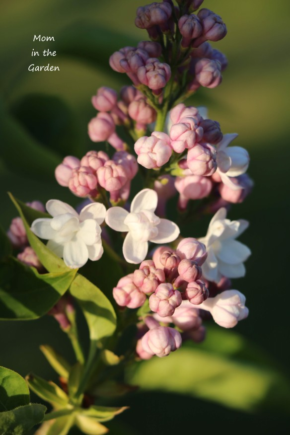 Lilac Syringa v Beauty of Moscow