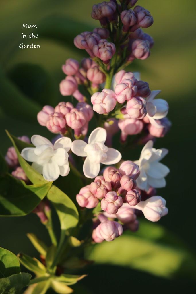 Lilac Syringa v Beauty of Moscow