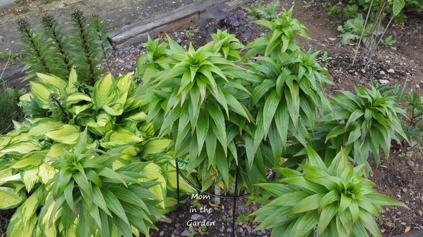 Lilies May 2020