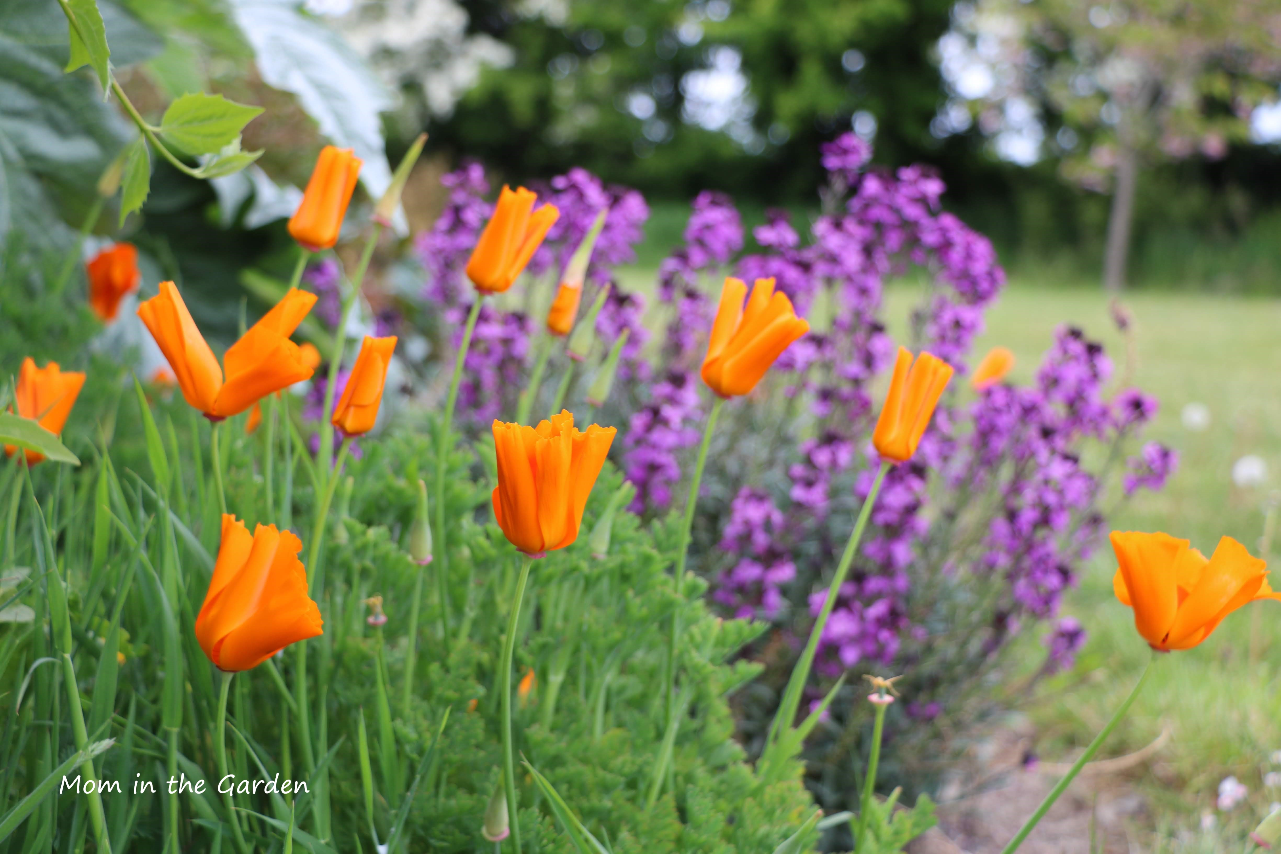 Orange poppies + erysimum
