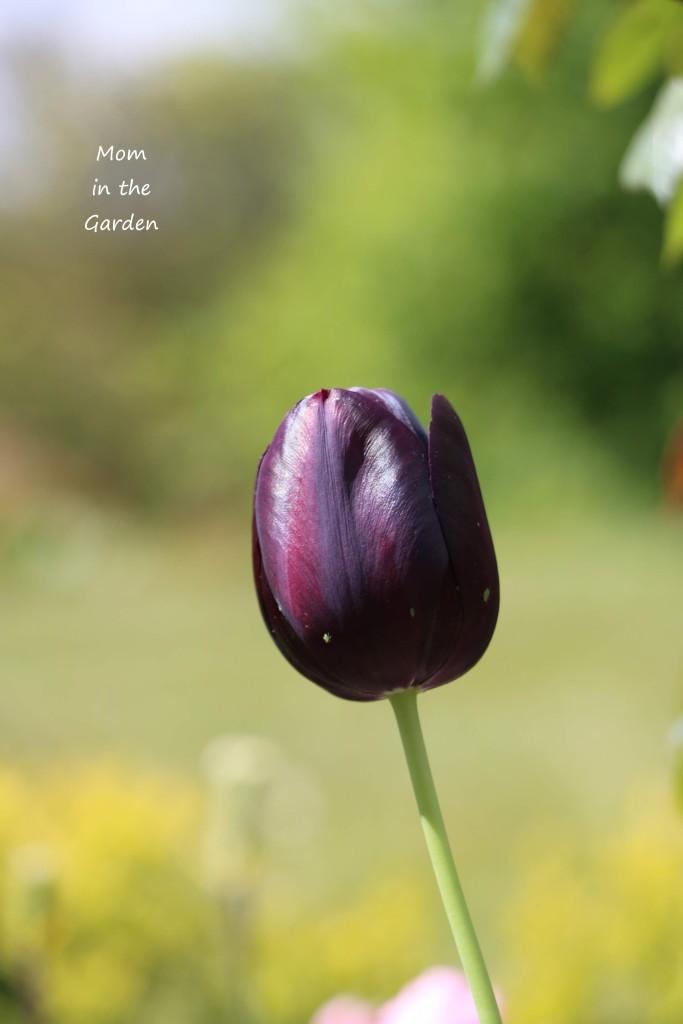 single Queen of the Night tulip