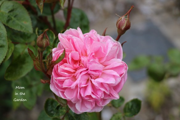 Strawberry Hill Climber David Austin Rose