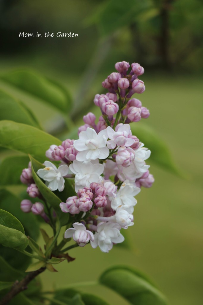 Syringa v Beauty of Moscow closeup