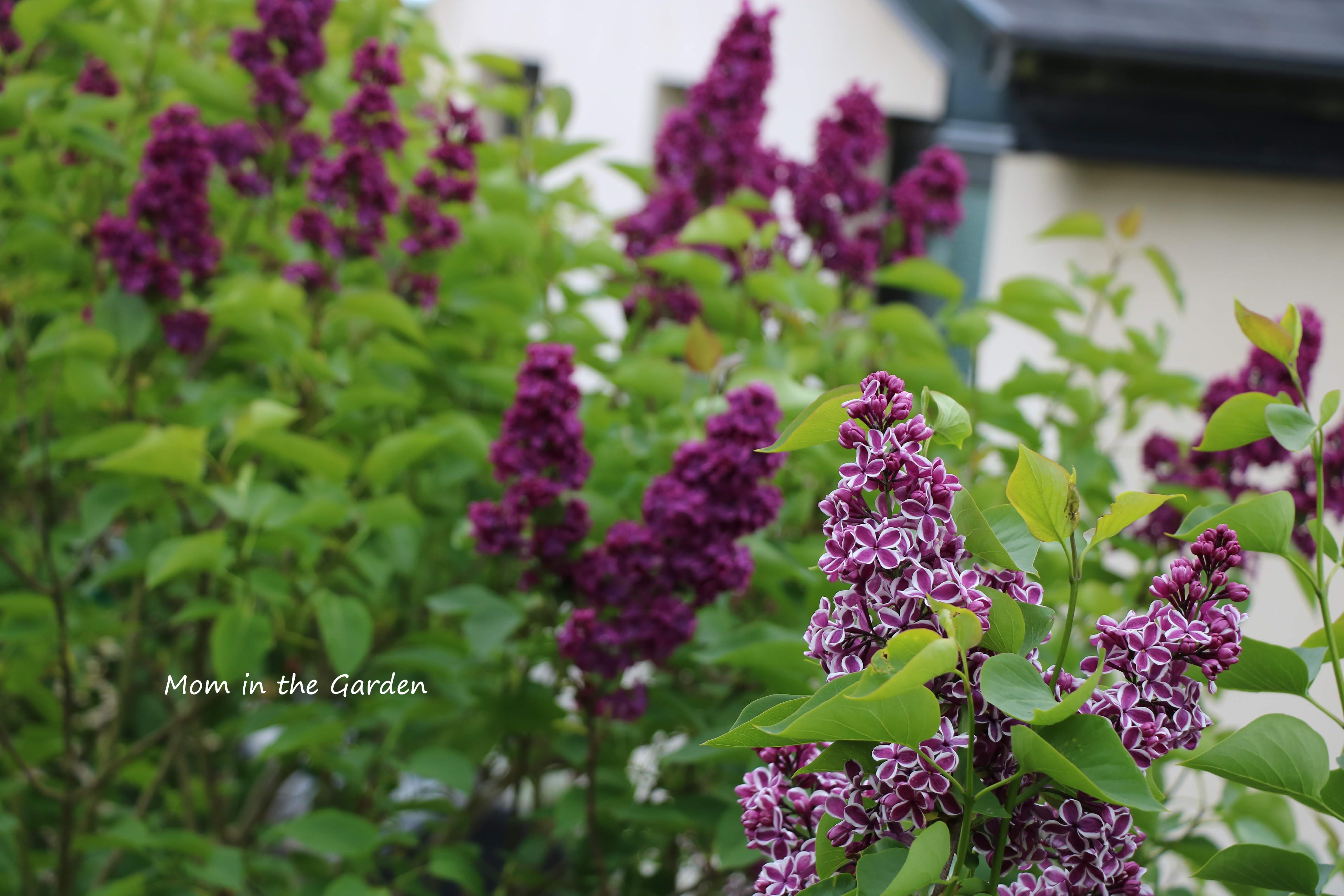 Syringa vulgaris Sensation with Syringa v Ludwig Spaeth in background