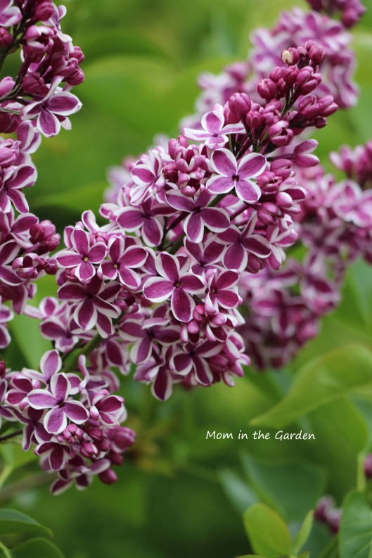 Syringa vulgaris Sensation