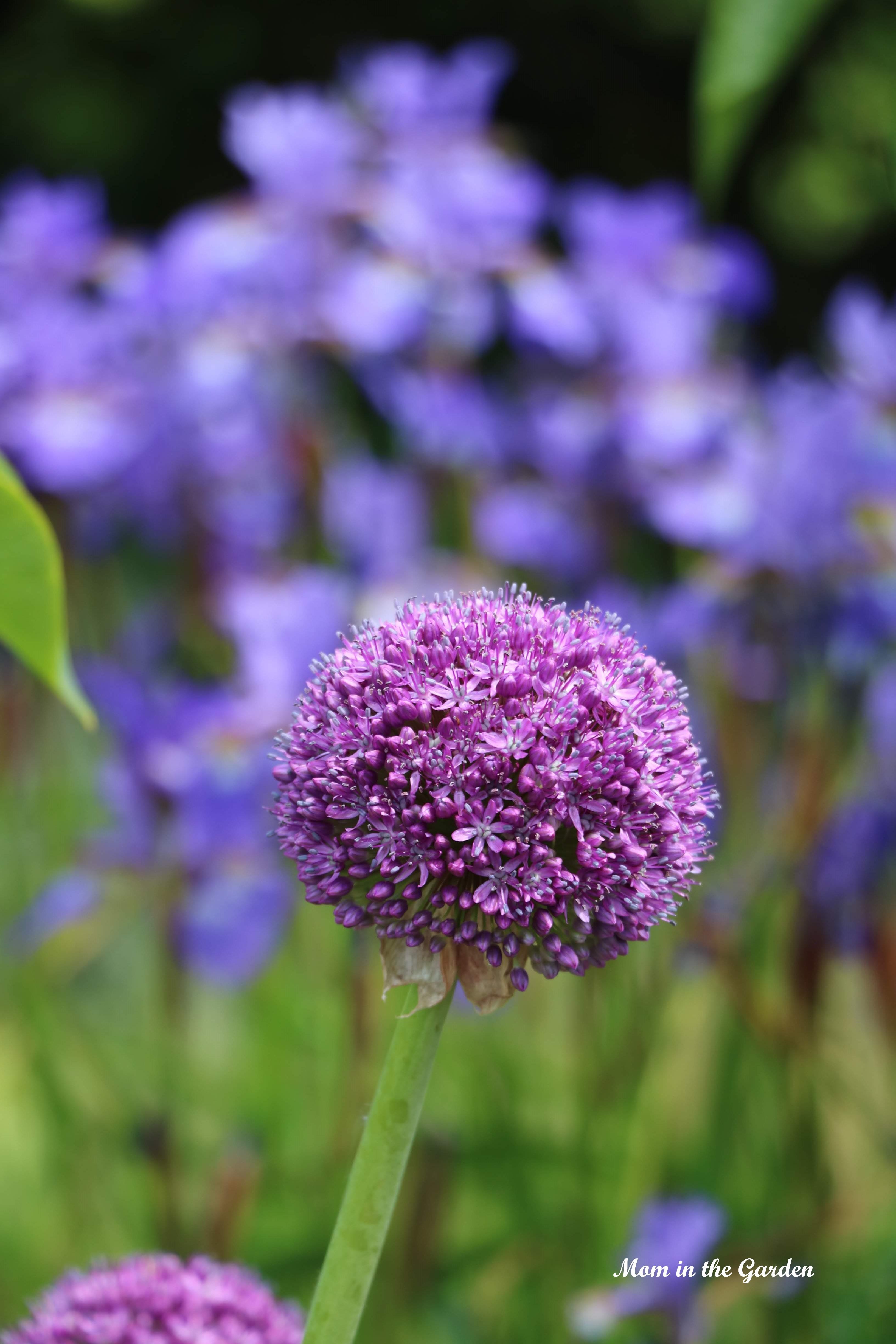 allium and Siberian Iris