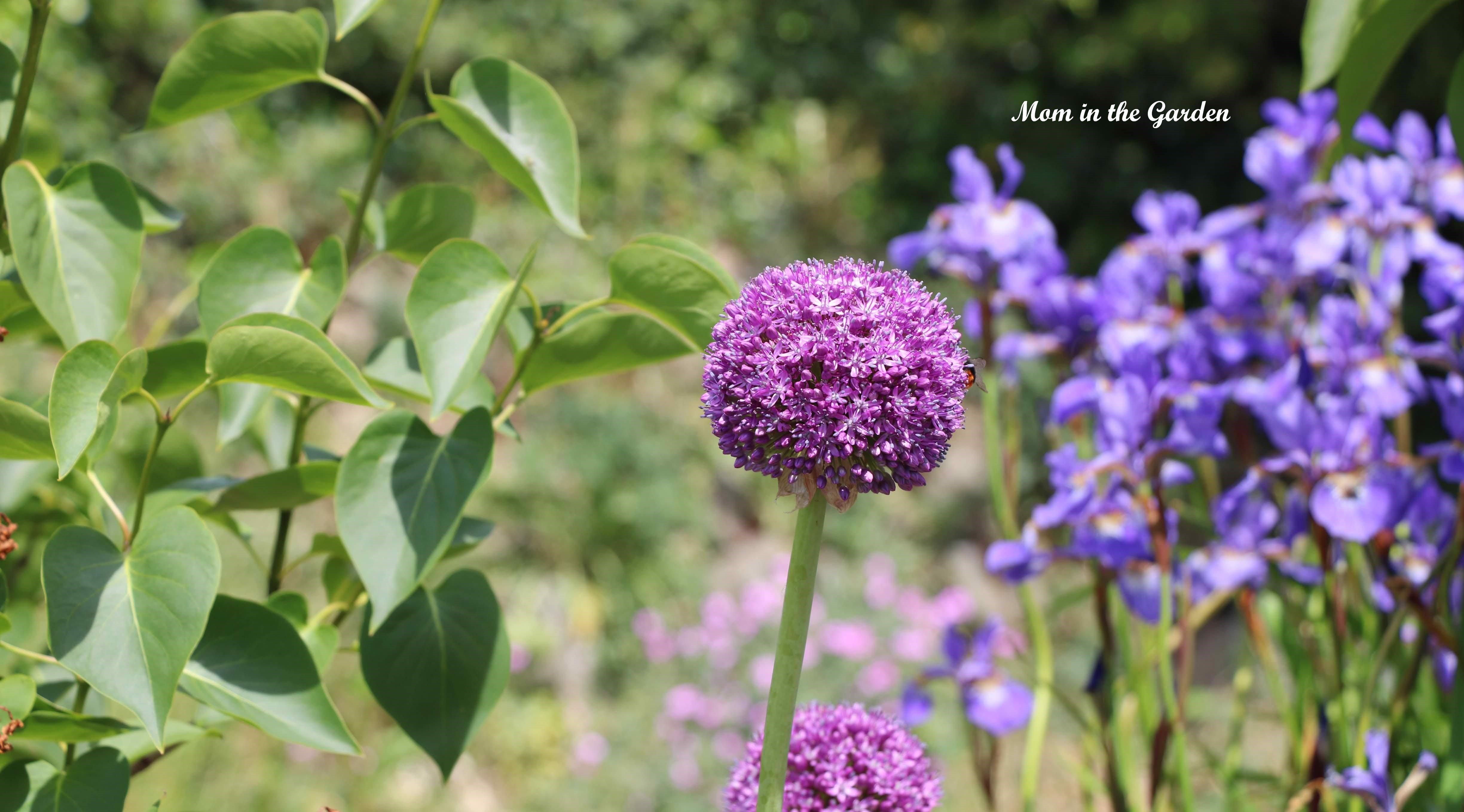 Allium + Siberian Iris + perennial geranium
