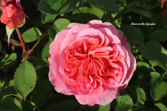 Boscobel - David Austin Rose