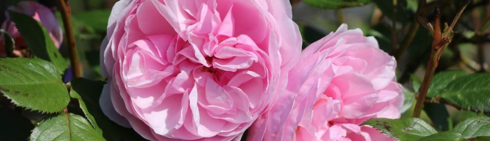 Olivia Rose Austin roses