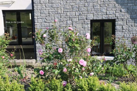 Olivia Rose David Austin roses full plant