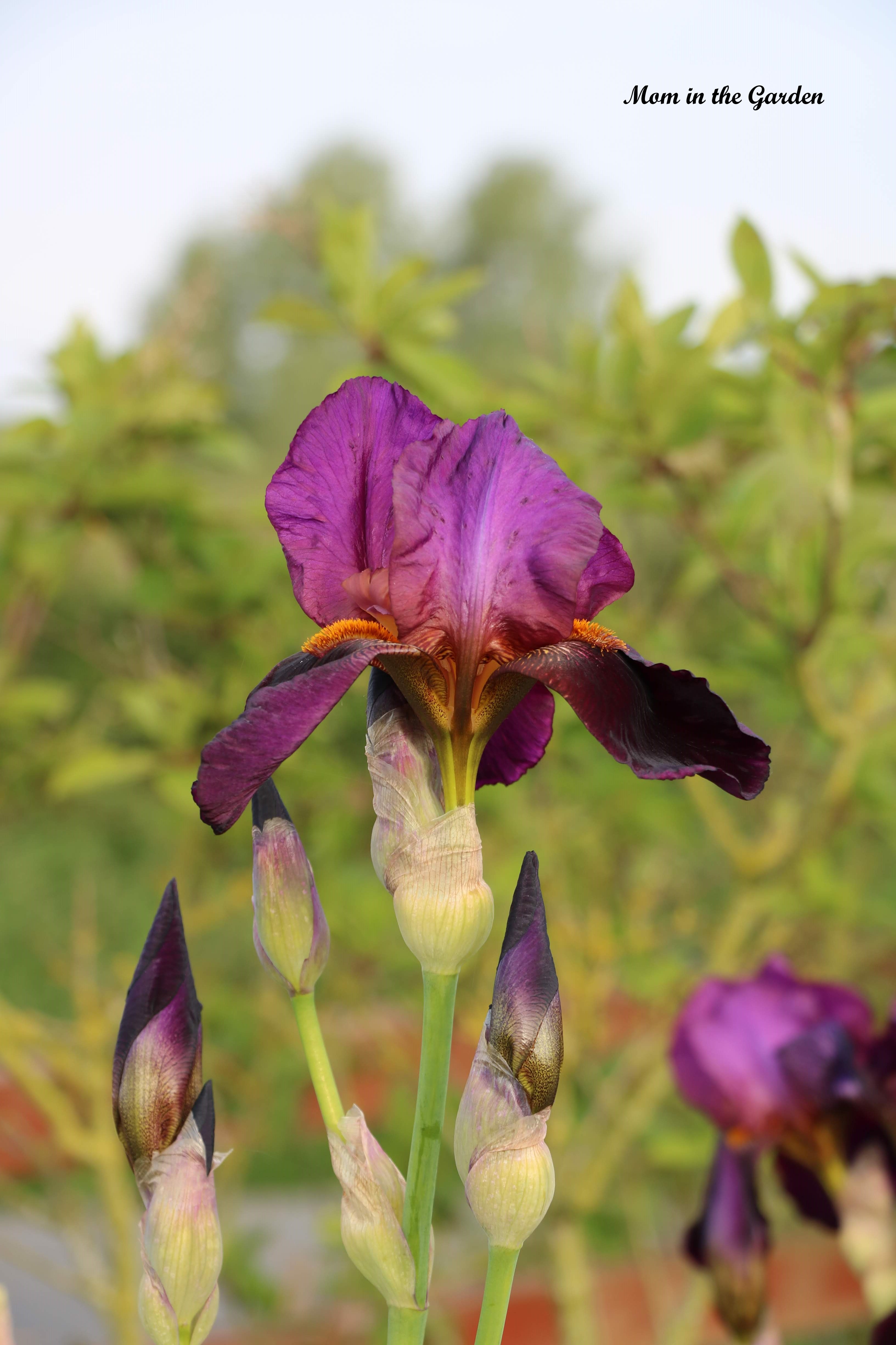 Iris Benton Storrington petals out