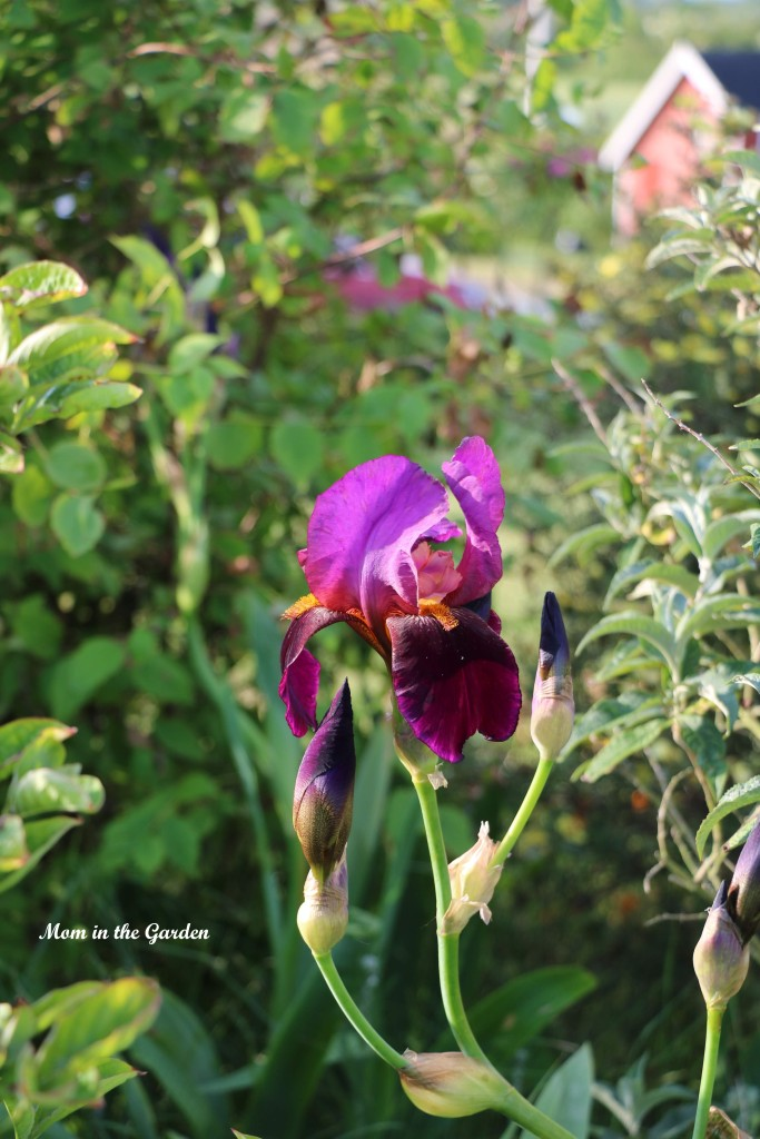 Iris Benton Storrington in the rainbow garden