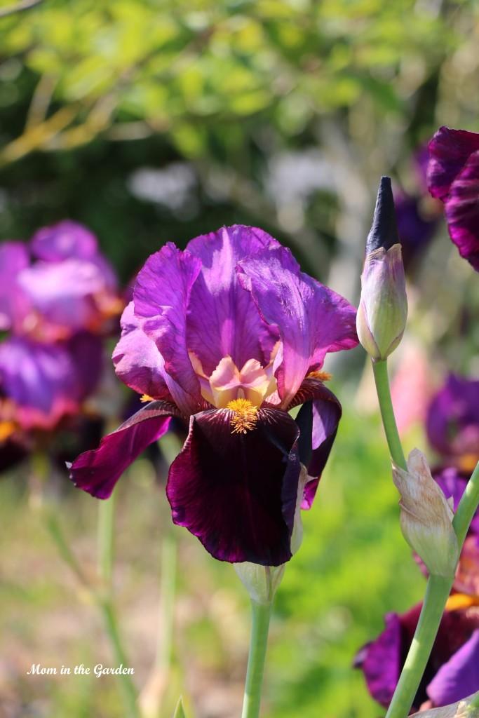 Iris Benton Storrington