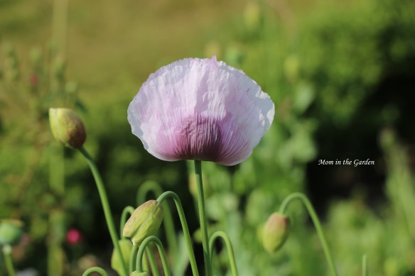 lavender poppy single