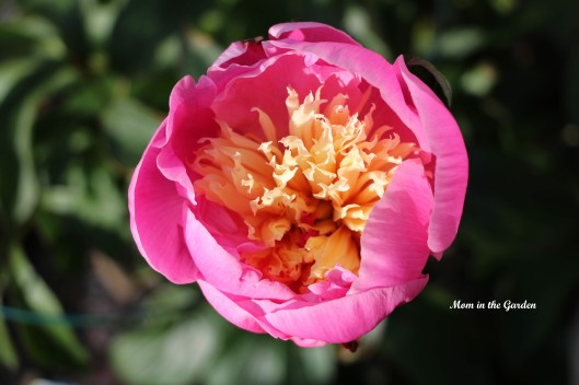Paeonia Bowl of Beauty closed