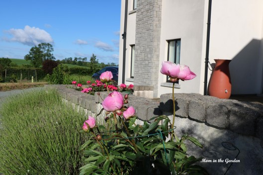 Paeonia Bowl of Beauty lavender view
