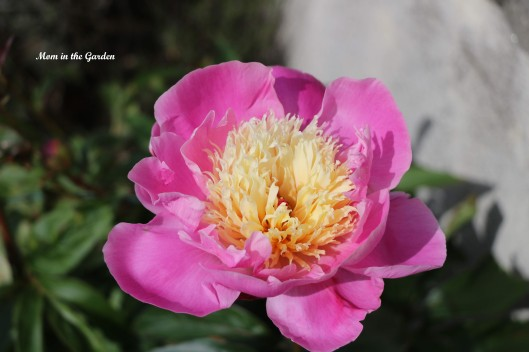 Paeonia Bowl of Beauty upclose