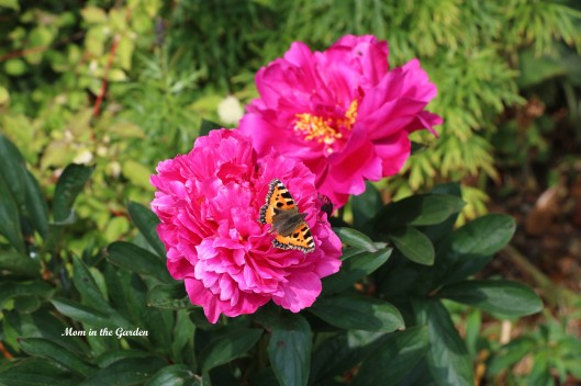 Paeonia 'Kansas' with Small Tortoiseshell butterfly