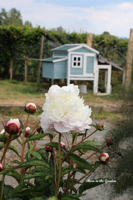 Peony white and chicken house