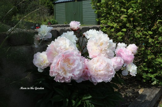 Peony white and pink outside bouquet