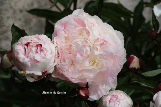 Peony White and Pink pink flower
