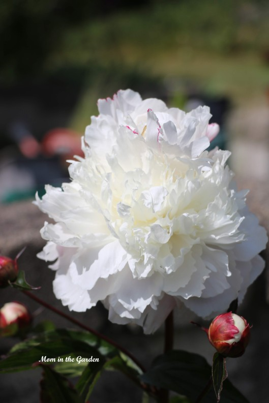 peony-white-first-single