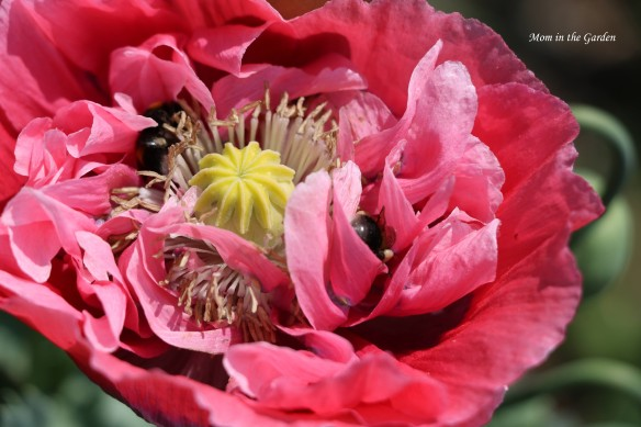pink-poppy-with-bee